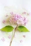 Subtelny artystyczny kwiecisty backgrodund z hortensia kwiatami fotografia royalty free