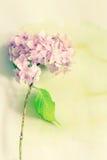 Subtelny artystyczny kwiecisty backgrodund z hortensia kwiatami obrazy royalty free
