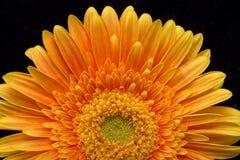 Subtelny pomarańczowy gerbera kwiat zdjęcia royalty free