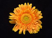 Subtelny pomarańczowy gerbera kwiat zdjęcie stock