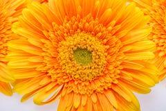 Subtelny pomarańczowy gerbera kwitnie na białym tle zdjęcie stock