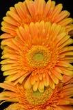 Subtelny pomarańczowy gerbera kwitnie na czarnym tle zdjęcia stock