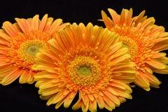 Subtelny pomarańczowy gerbera kwitnie na czarnym tle obrazy royalty free