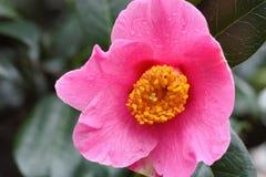 Subtelny Różowy kwiat Kameliowy Sasanqua fotografia stock