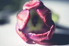 Subtelny r??owy tulipan dla walentynki fotografia royalty free