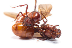 The subterranean ants Stock Images