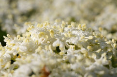 Subtile Ältestblüte Stockbild
