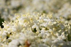 Subtle elder blossom Stock Image