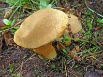 Subtomentosus подосиновика гриба Стоковые Фотографии RF