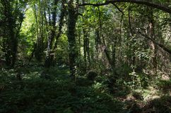 Subtropical forest. Subtropical beech forest on the Black Sea coast Royalty Free Stock Photos