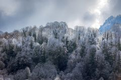 Subtropical deciduous forests during cold weather. And snowfall visible boundary of influence of warm waters of sea, cloud forest, hoarfrost formation, snow Royalty Free Stock Photography