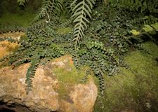 Subtropical fern plant on moss-covered stones.  Stock Photography