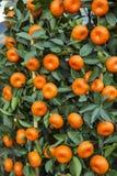 subtropical frukt Arkivbild