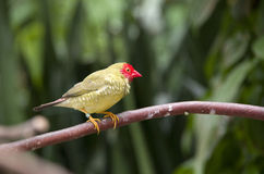 Subtropical garden bird Royalty Free Stock Photos