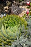 Subtropical garden: spiral aloe with proteas Royalty Free Stock Photos