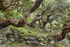 Subtropical green forest in Flores island, Azores archipelago. P Stock Photo