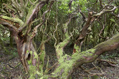 Subtropical green forest in Flores island, Azores archipelago. P Royalty Free Stock Image