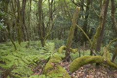 Subtropical laurisilva forest in Gomera. Canary Island. Spain Royalty Free Stock Photography