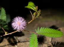 Mimosa pudica in sunlight and shadow Royalty Free Stock Image