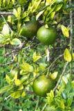 Subtropisch Fruit Royalty-vrije Stock Foto's