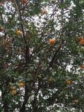 Subtropisch Fruit Royalty-vrije Stock Afbeelding