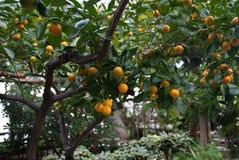 Subtropisch Fruit Stock Fotografie
