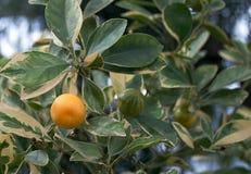 Subtropisch Fruit Stock Afbeeldingen