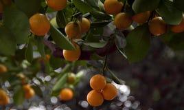 Subtropisch Fruit Royalty-vrije Stock Foto