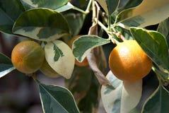 Subtropisch Fruit Stock Foto's