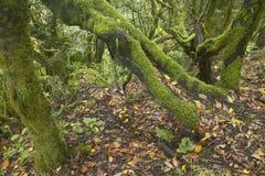Subtropisch laurisilvabos in Gomera Canarische Eilanden spanje Stock Foto's