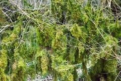 Subtropische altijdgroen beroemde van Bukshoutcolchis (Buxus-colchica) royalty-vrije stock afbeeldingen
