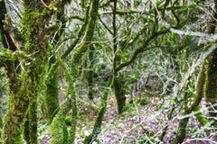 Subtropische altijdgroen beroemde van Bukshoutcolchis (Buxus-colchica) royalty-vrije stock foto's