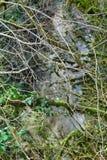 Subtropische altijdgroen beroemde van Bukshoutcolchis (Buxus-colchica) stock foto's