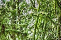 Subtropische altijdgroen beroemde van Bukshoutcolchis (Buxus-colchica) royalty-vrije stock foto