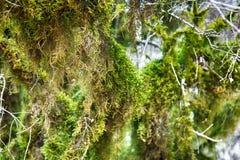 Subtropische altijdgroen beroemde van Bukshoutcolchis (Buxus-colchica) stock afbeeldingen