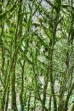 Subtropische altijdgroen beroemde van Bukshoutcolchis (Buxus-colchica) stock afbeelding