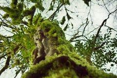 Subtropische altijdgroen beroemde van Bukshoutcolchis (Buxus-colchica) royalty-vrije stock afbeelding