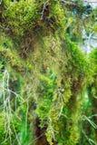 Subtropische altijdgroene behandelde Neckera mos het beroemde van Bukshoutcolchis (Buxus-colchica) stock afbeeldingen