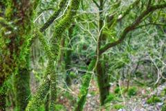 Subtropische altijdgroene behandelde Neckera mos het beroemde van Bukshoutcolchis (Buxus-colchica) royalty-vrije stock fotografie