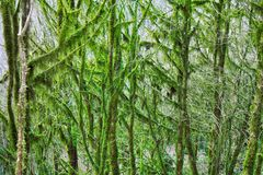 Subtropische altijdgroene behandelde Neckera mos het beroemde van Bukshoutcolchis (Buxus-colchica) stock foto's