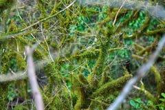 Subtropische altijdgroene behandelde Neckera mos het beroemde van Bukshoutcolchis (Buxus-colchica) royalty-vrije stock afbeelding
