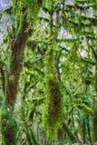 Subtropische altijdgroene behandelde Neckera mos het beroemde van Bukshoutcolchis (Buxus-colchica) royalty-vrije stock foto