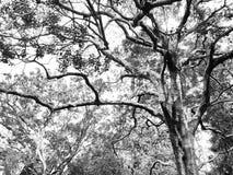 Subtropische Bomen in Zwart-wit Royalty-vrije Stock Foto's