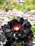 Subtropische tuin: Arboreum van Aeonium in rockery Royalty-vrije Stock Fotografie