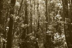 Subtropisk laurisilvaskog i Gomera Kanariefågelö spain Royaltyfri Foto
