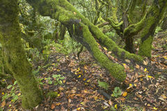 Subtropisk laurisilvaskog i Gomera Kanariefågelö spain Arkivfoton