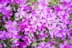 subulata красивейшего phlox цветков малое Яркие розовые цветки весны Стоковые Изображения