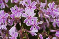 subulata красивейшего phlox цветков малое Стоковая Фотография