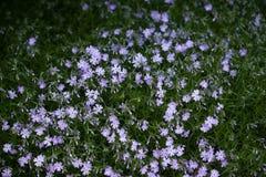 subulata красивейшего phlox цветков малое Стоковые Фото