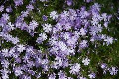 subulata красивейшего phlox цветков малое Стоковое Фото